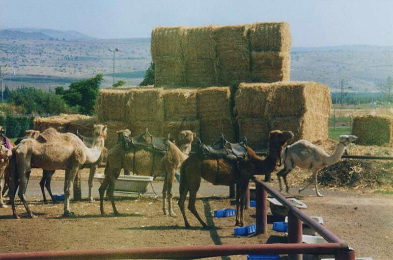 Camels and bales of hay waiting to transport